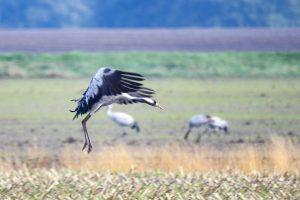 natuur fotografie kraanvogel Diepholz